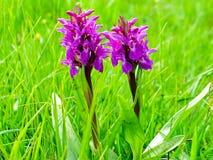 Purpurfärgade orkidéblommor Arkivfoto