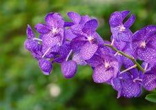 Purpurfärgade orkidéblommor Royaltyfri Bild