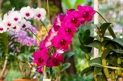 Purpurfärgade orkidéblommor - Dendrobium Arkivfoton