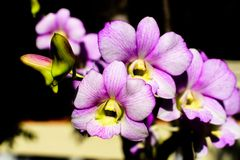 Purpurfärgade orkidéblommor, i sommarnatur Royaltyfri Bild