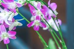 Purpurfärgade orkidér är blommande med knoppar Fotografering för Bildbyråer