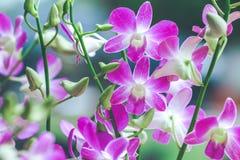 Purpurfärgade orkidér är blommande med knoppar Arkivbilder