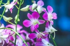 Purpurfärgade orkidér är blommande med knoppar Royaltyfri Fotografi