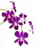 Purpurfärgade orkidér Arkivfoton