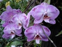 Purpurfärgade orkidér, lilor blommar, tropiska blommor Arkivfoto