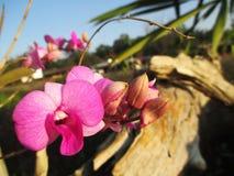 Purpurfärgade orkidér på trädgården Royaltyfri Fotografi