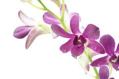 Purpurfärgade orkidéväxter Arkivbilder