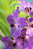 Purpurfärgade orkidévanda blommor Royaltyfri Foto
