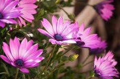 Purpurfärgade Osteospermum tusenskönablommor royaltyfri fotografi