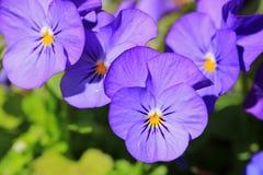 Purpurfärgade Pansies i vårträdgård Royaltyfri Fotografi