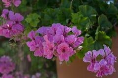 Purpurfärgade pelargonblommor Fotografering för Bildbyråer