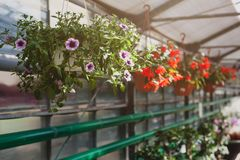 Purpurfärgade petuniablommor som hänger i en kruka Royaltyfri Fotografi