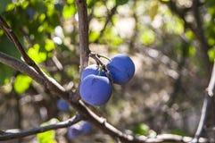 Purpurfärgade plommoner som är mogna i plommonträdet, mogna purpurfärgade plommoner, naturliga organiska plommoner, är skördade m Royaltyfri Bild