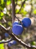 Purpurfärgade plommoner som är mogna i plommonträdet, mogna purpurfärgade plommoner, naturliga organiska plommoner, är skördade m Arkivbild