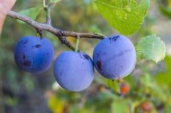Purpurfärgade plommoner som är mogna i plommonträdet, mogna purpurfärgade plommoner, naturliga organiska plommoner, är skördade m Arkivbilder
