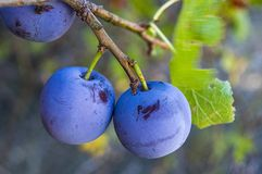 Purpurfärgade plommoner som är mogna i plommonträdet, mogna purpurfärgade plommoner, naturliga organiska plommoner, är skördade m Royaltyfri Foto