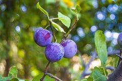 Purpurfärgade plommoner som är mogna i plommonträdet, mogna purpurfärgade plommoner, naturliga organiska plommoner, är skördade m Arkivfoto