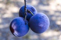Purpurfärgade plommoner som är mogna i plommonträdet, mogna purpurfärgade plommoner, naturliga organiska plommoner, är skördade m Royaltyfria Bilder