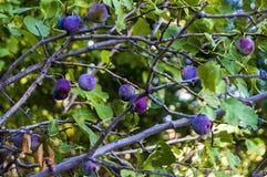 Purpurfärgade plommoner som är mogna i plommonträdet, mogna purpurfärgade plommoner, naturliga organiska plommoner, är skördade m Royaltyfria Foton