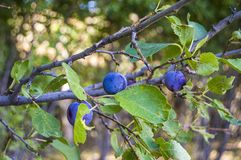 Purpurfärgade plommoner som är mogna i plommonträdet, mogna purpurfärgade plommoner, naturliga organiska plommoner, är skördade m Arkivfoton