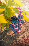 Purpurfärgade röda druvor Arkivbilder