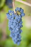Purpurfärgade röda druvor och bi Arkivbild