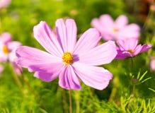 Purpurfärgade rosa färger blommar med stora kronblad på sommar natur flora Royaltyfri Fotografi