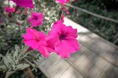 Purpurfärgade rosa färger för blomma i minnena royaltyfri fotografi