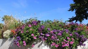 Purpurfärgade rosa Osteospermum och blommor royaltyfri bild