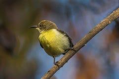 Purpurfärgade Rumped Sunbird Arkivbild