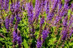 Purpurfärgade Salvia Plant Arkivbilder