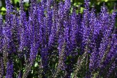 Purpurfärgade Salvia växter i en arboretum Arkivbilder