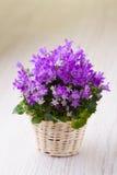 Purpurfärgade små blommor Arkivbilder