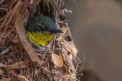 Purpurfärgade Sunbird behandla som ett barn Fotografering för Bildbyråer