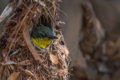 Purpurfärgade Sunbird behandla som ett barn Arkivbilder