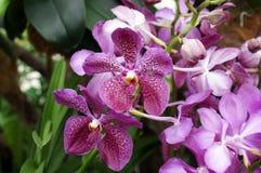 Purpurf?rgade tigerBali orkid?r arkivfoto