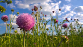Purpurfärgade tistlar mot en blå molnig himmel Royaltyfria Foton