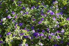Purpurfärgade tropiska blommor Fotografering för Bildbyråer