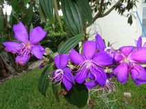 purpurfärgade tropiska blommor i blom på en ö Arkivfoto