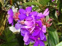 purpurfärgade tropiska blommor i blom på en ö Royaltyfri Bild