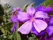 purpurfärgade tropiska blommor i blom på en ö Royaltyfria Bilder