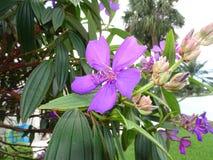 purpurfärgade tropiska blommor i blom på en ö Arkivbild