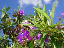 purpurfärgade tropiska blommor i blom på en ö Royaltyfri Foto