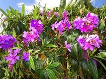 purpurfärgade tropiska blommor i blom på en ö Fotografering för Bildbyråer