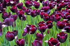 Purpurfärgade tulpan Royaltyfri Foto