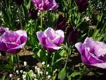 Purpurfärgade tulpan, den vita tulpan blommar i trädgård Arkivfoto