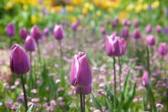 Purpurfärgade tulpan i en blommaträdgård Royaltyfria Foton