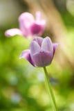 Purpurfärgade tulpan i min trädgård Royaltyfri Bild