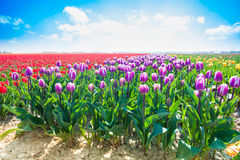 Purpurfärgade tulpan i solsken under sommar Arkivbild