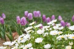 Purpurfärgade tulpan och tusenskönor, vårbakgrund arkivfoton